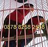 kakatua lesser muda dan jinak-foto-0002xxx.jpg