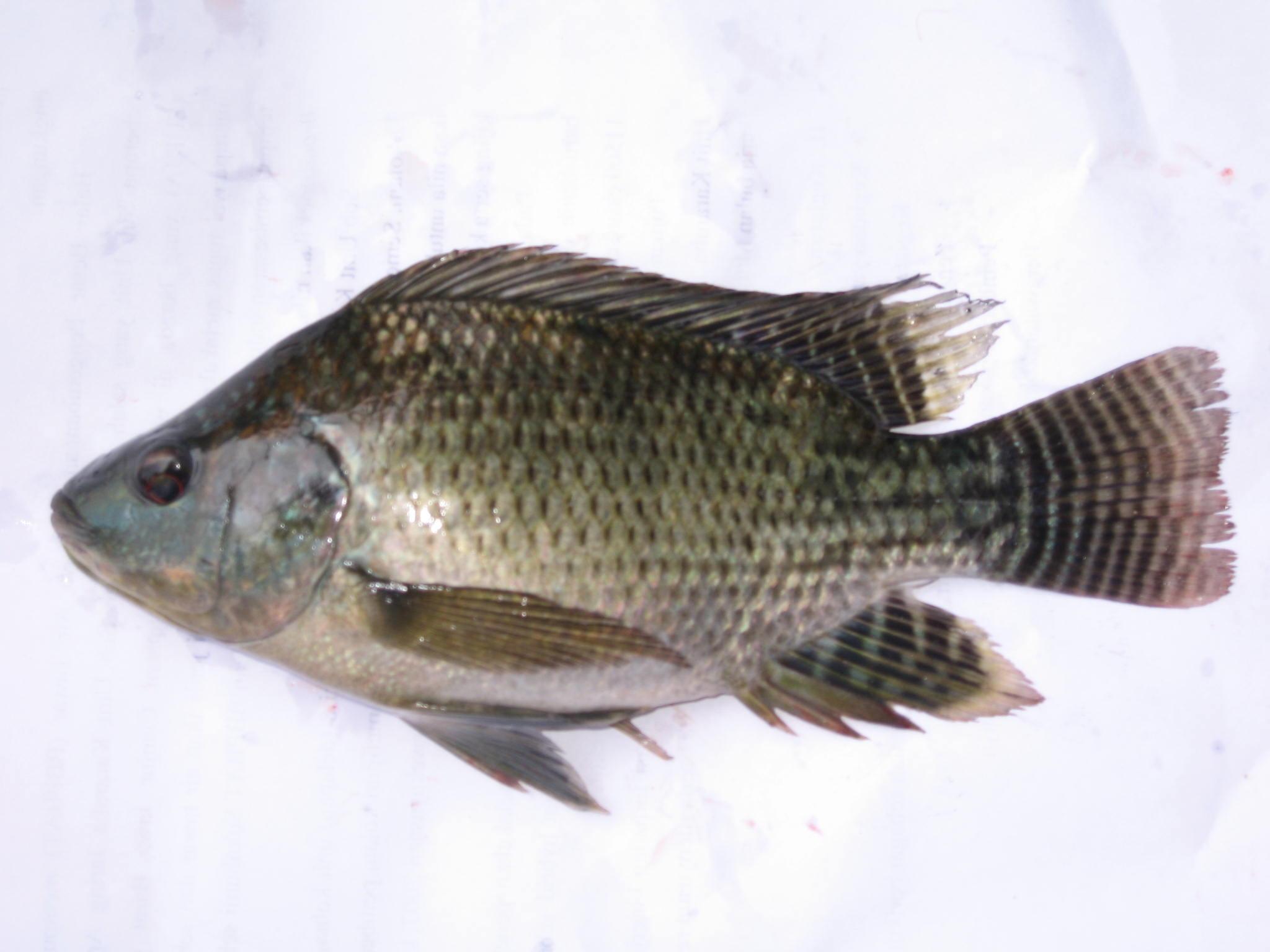 Jual bibit ikan air tawar-img_3291.jpg