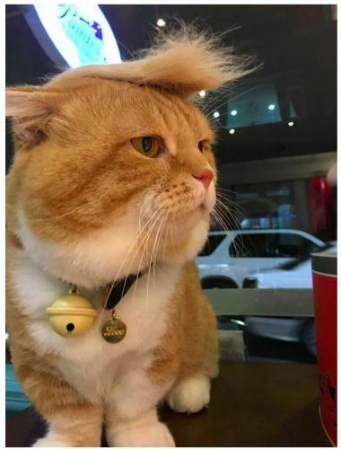 catrump__kucing_mirip_donald_trump.jpg