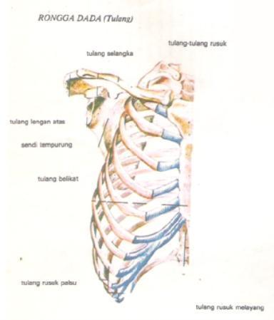 rongga dada tulang.jpg