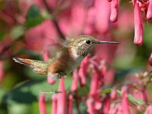 hummingbird-83-34.jpg