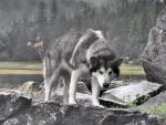 alaskan-dog-at-the-stage-1024x768.jpg