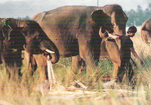 Gajah Lampung.jpg