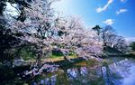 Cherry Trees of Hirosaki Castle  Jepang.jpg