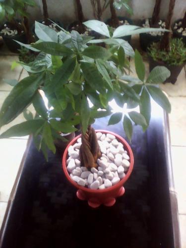 Si Pohon Duit/Pachira