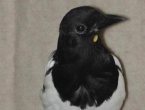 Burung Murai Sadar Bercermin
