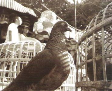 Burung_Dara.jpg - Hewan & Peliharaan - Photo Gallery