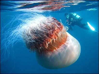 http://www.indonesiaindonesia.com/imagehosting/images/2821/1_diverandjellyfishhw9.jpg