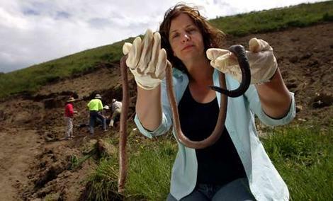 1 giant gippsland earthworm 10 Hewan Langka Ditemukan Baru baru  Ini