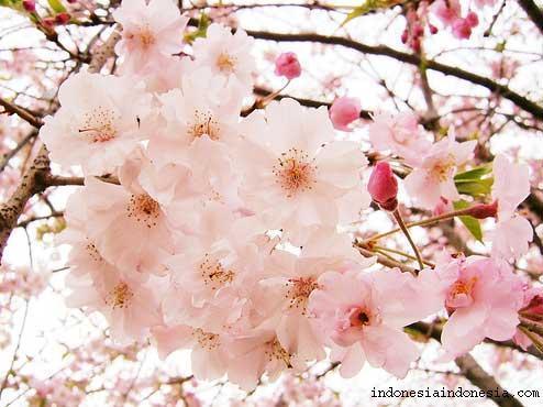 Bunga/Kembang] Tentang Bunga Sakura