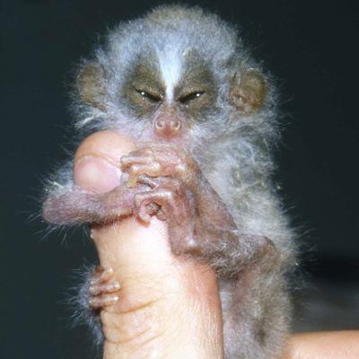 baby-slender-loris-2267.jpg
