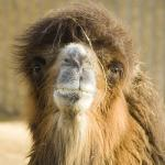 ds-bactrian-camel-2263.jpg