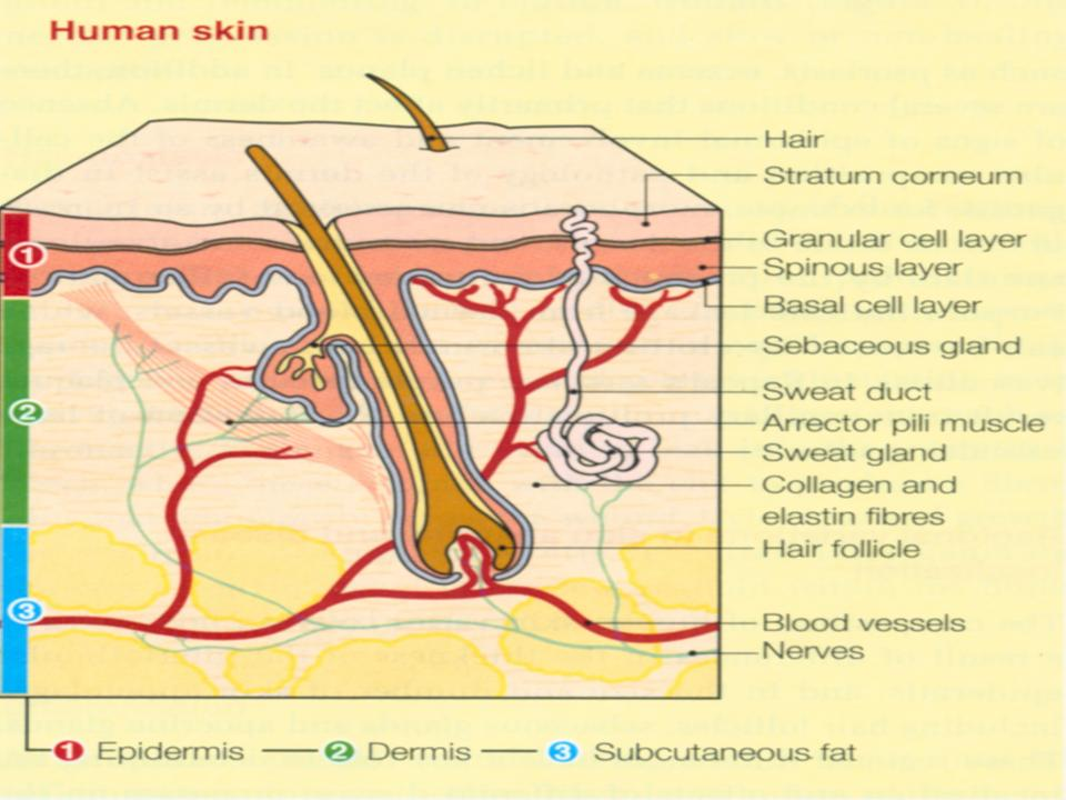 Alat penutup / pelindung Suatu sistem organ : sistem integumen Organ