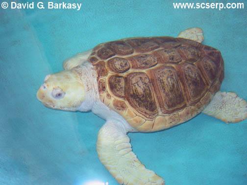 http://www.indonesiaindonesia.com/imagehosting/images/882/2_AlbinoLoggerheadSeaTurtle001.JPG
